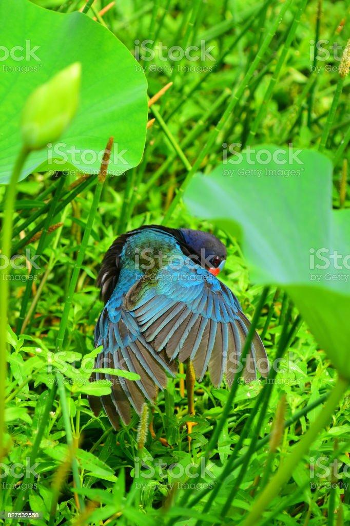 Purple Gallinule preening wings stock photo