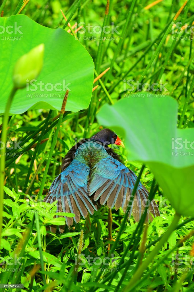 Purple Gallinule sunning with wings back and open stock photo