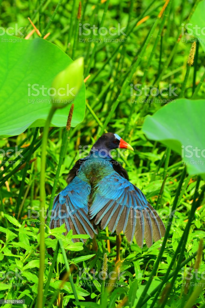 Purple Gallinule with wings back and head turned stock photo