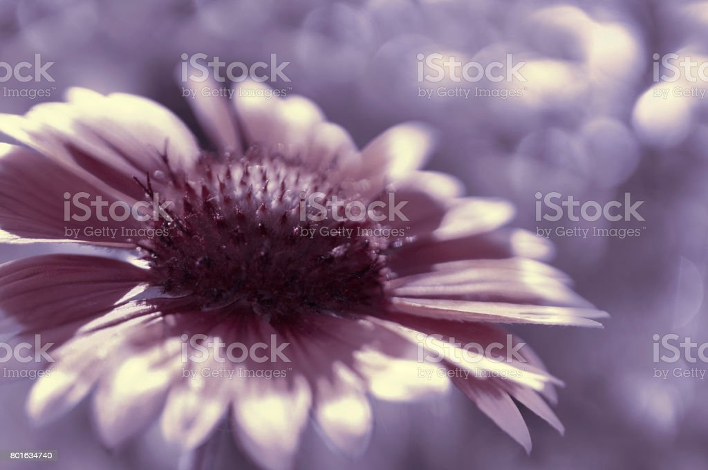 Purple garden flower on a  white-violet blurred background bokeh. Close-up. Floral background. Soft focus.Bbloom in the sun. Floral background. Nature. stock photo