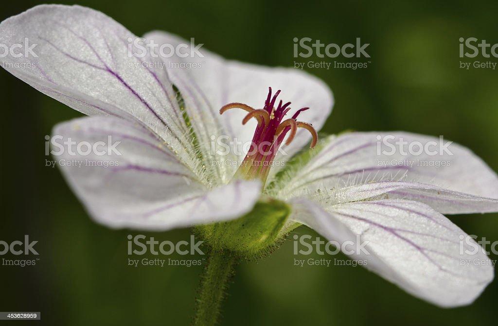 Purple Geranium stock photo