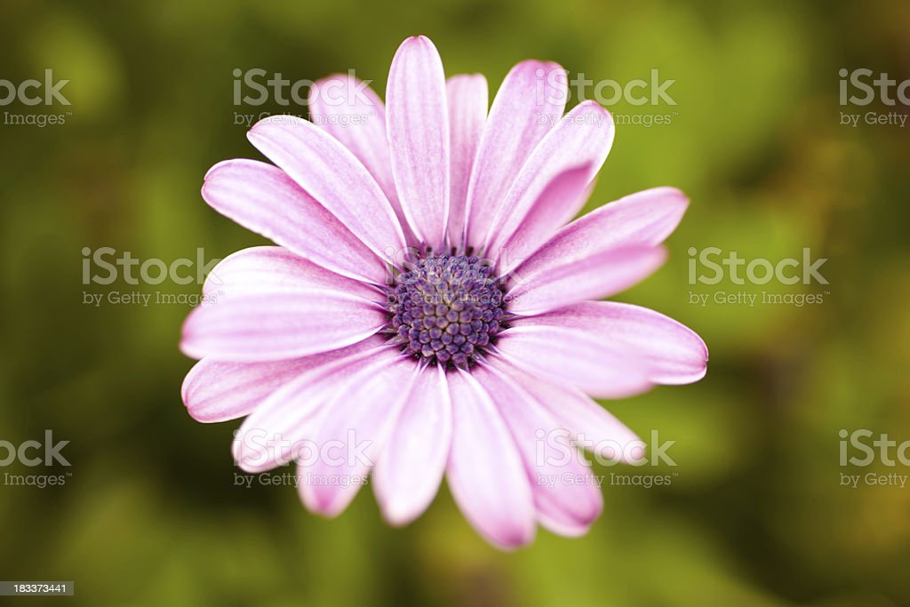Purple gerber daisy stock photo