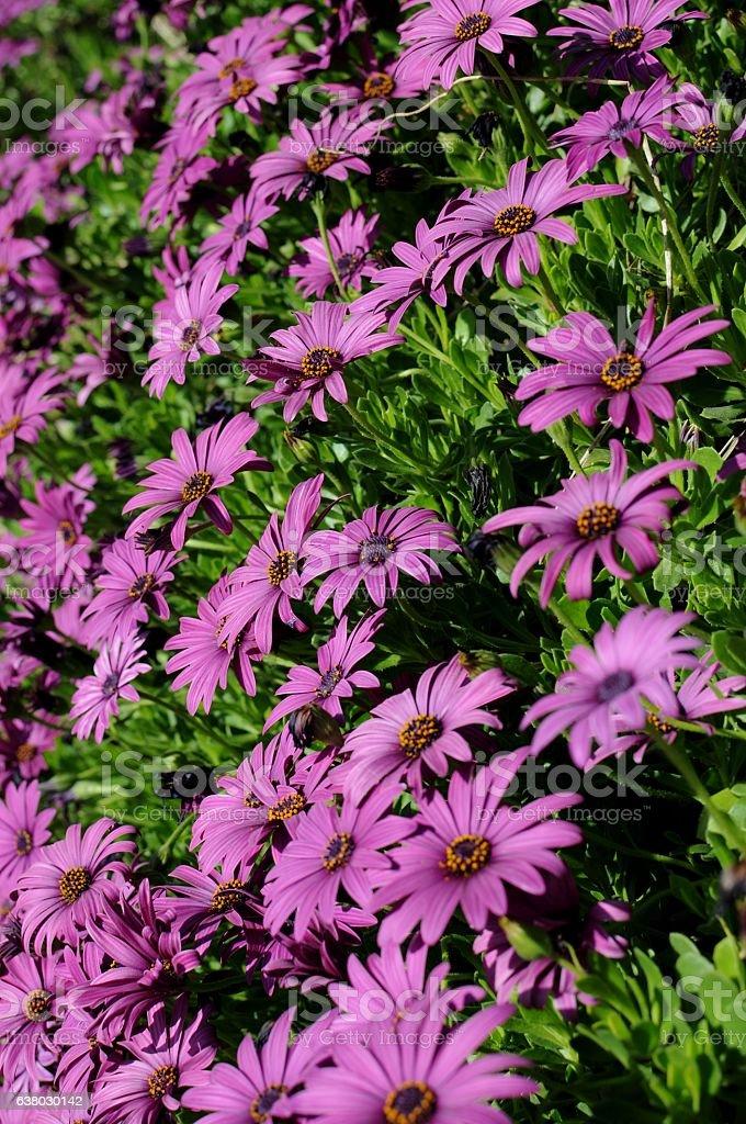 Purple gerbera daisies stock photo