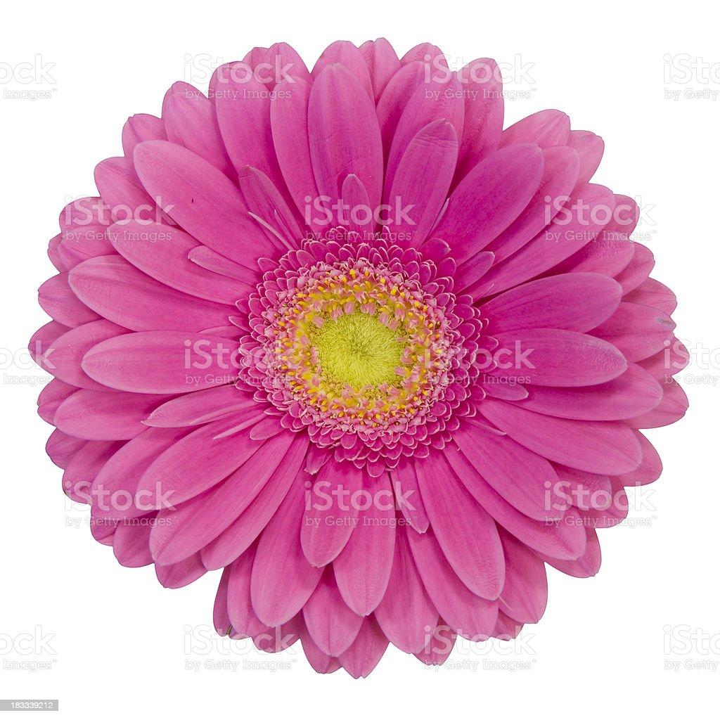 Purple gerbera flower on white background royalty-free stock photo