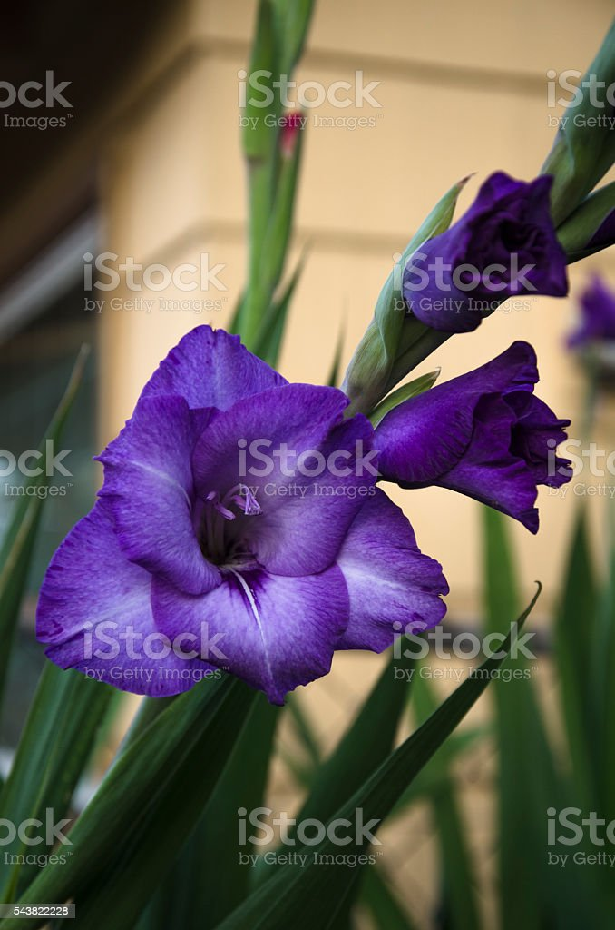 Purple Gladiola stock photo