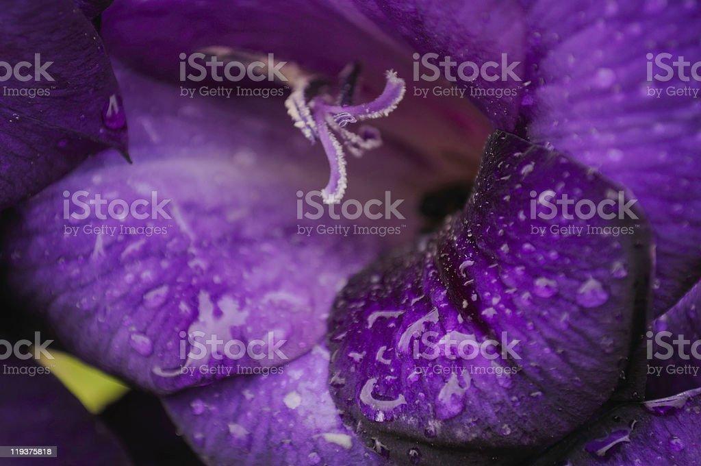Purple Gladiolus Flower stock photo