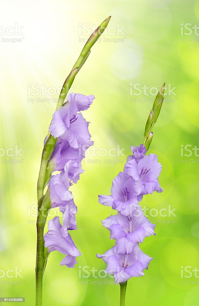 Purple gladiolus flower stock photo