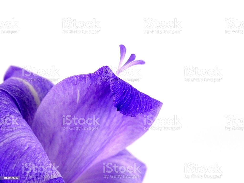 Purple Gladiolus flowers on white background royalty-free stock photo