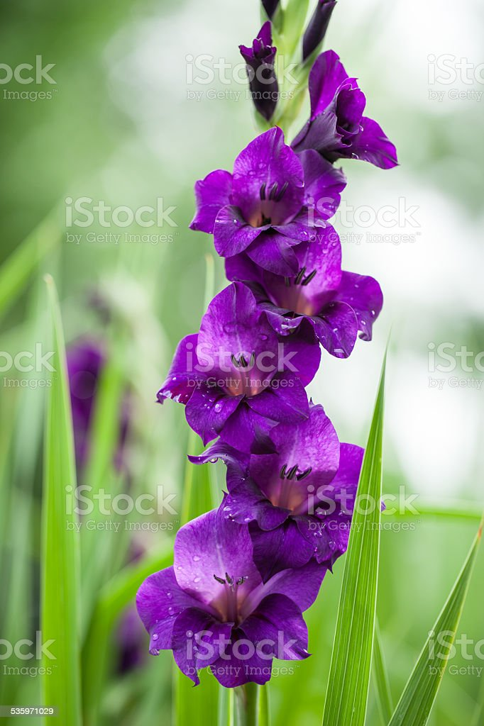 Purple gladiolus flowers stock photo