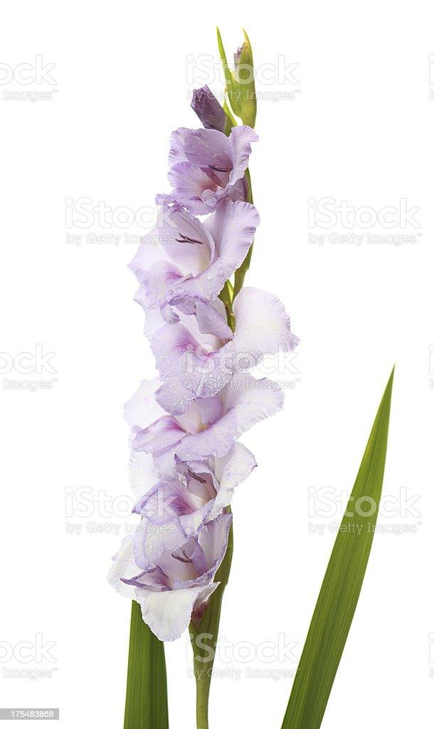 Purple gladiolus isolated on white stock photo