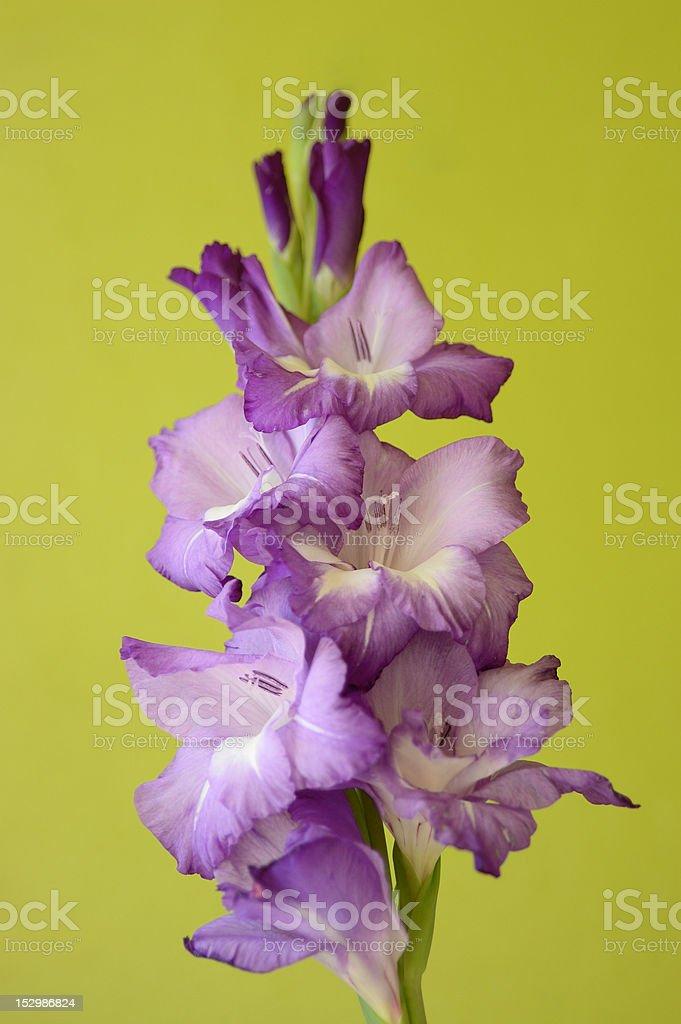 Purple Gladiolus stock photo
