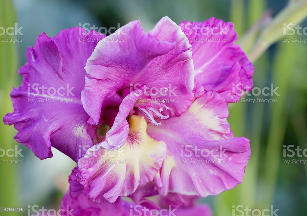Purple gladiolus stock photo