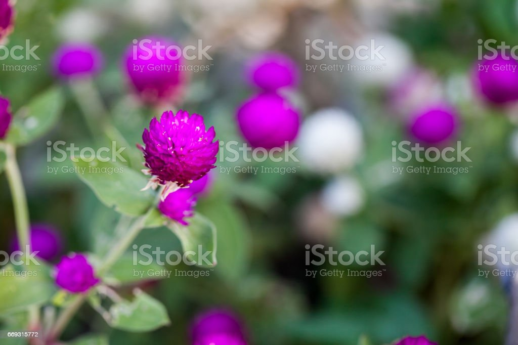 Purple Globe amaranth (Gomphrena globosa) flowers stock photo