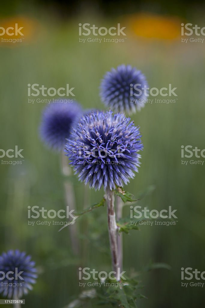 purple globe thistle stock photo