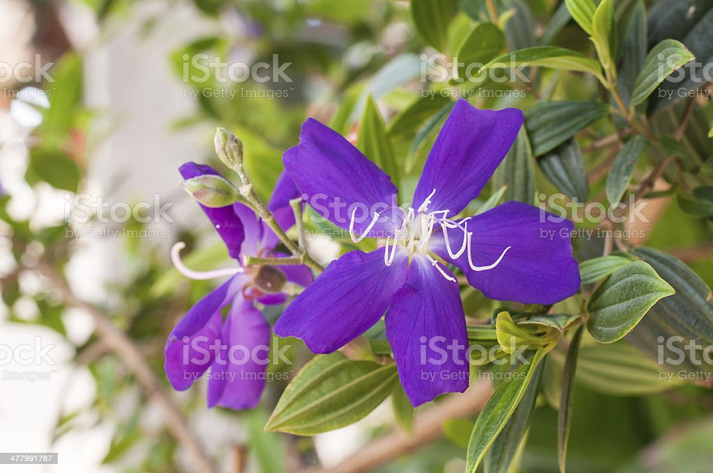 Purple Glory Bush stock photo