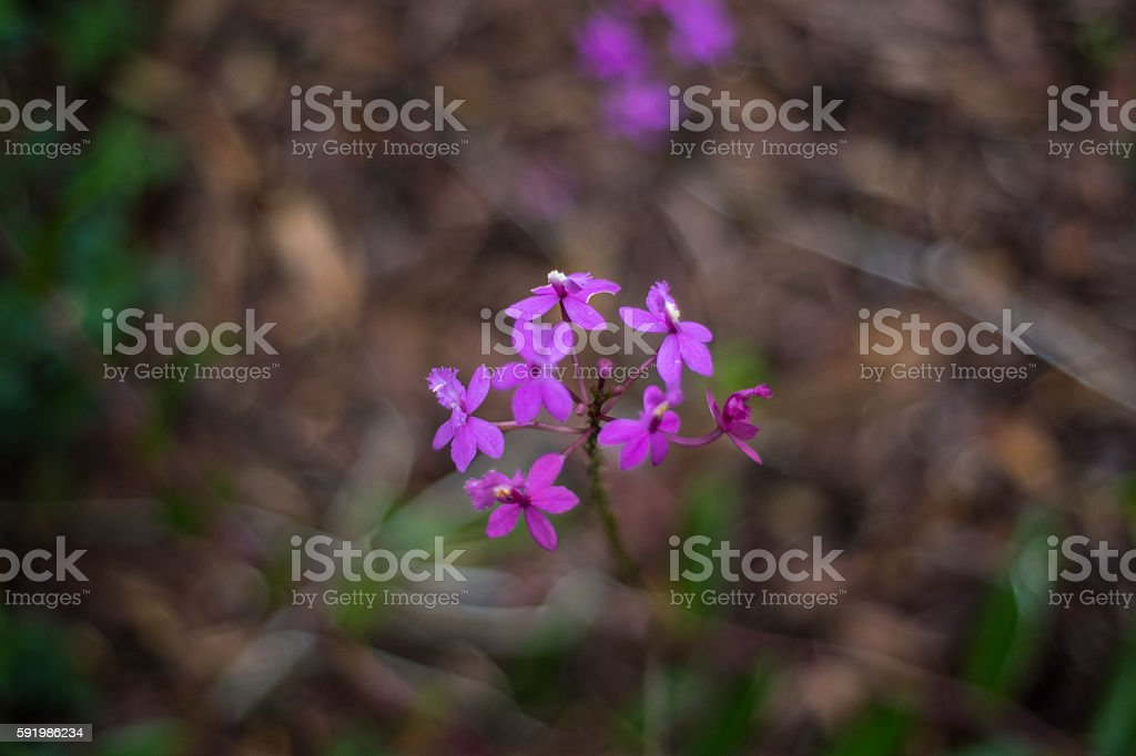 Purple Glory Flower on Maui stock photo