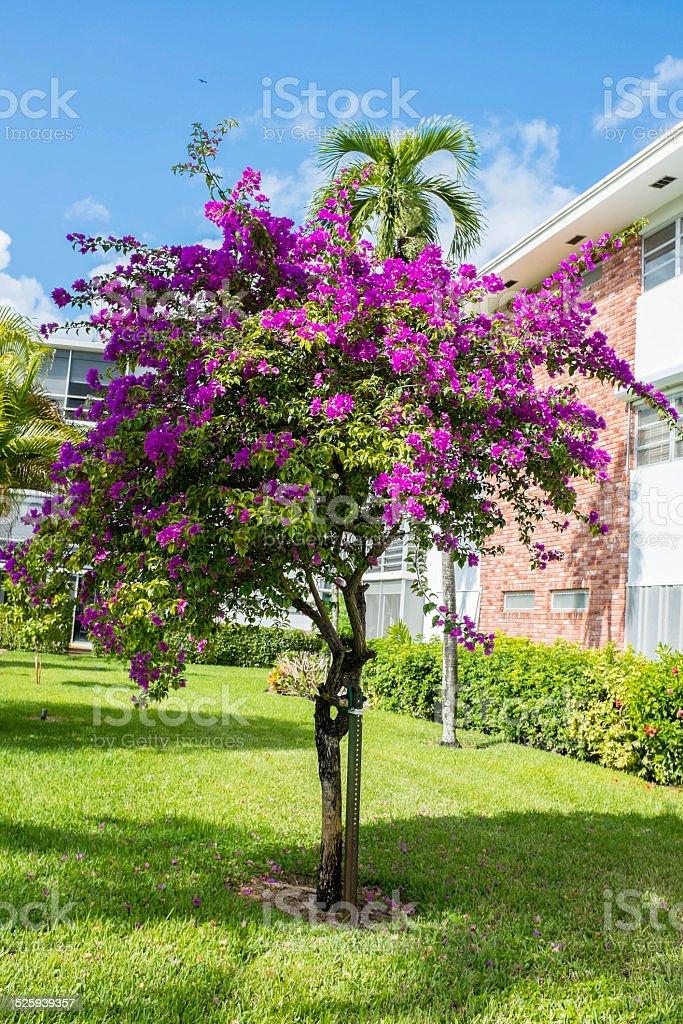 Purple Glory Tree Tibouchina Granulosa stock photo