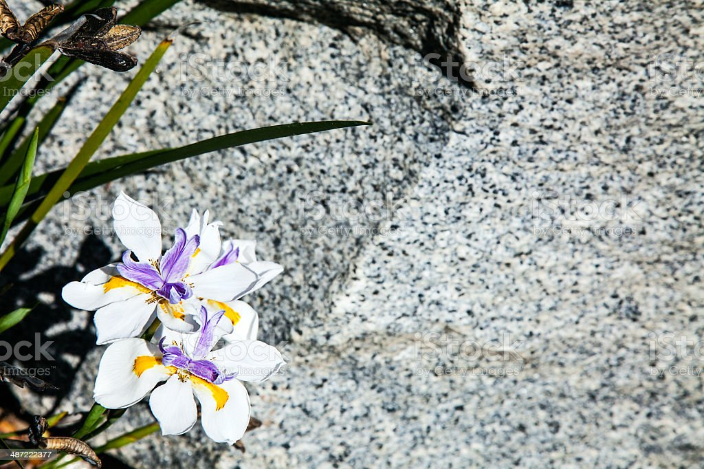 Purple Gold White Daylily Blossoms over Gray Granite Background royalty-free stock photo