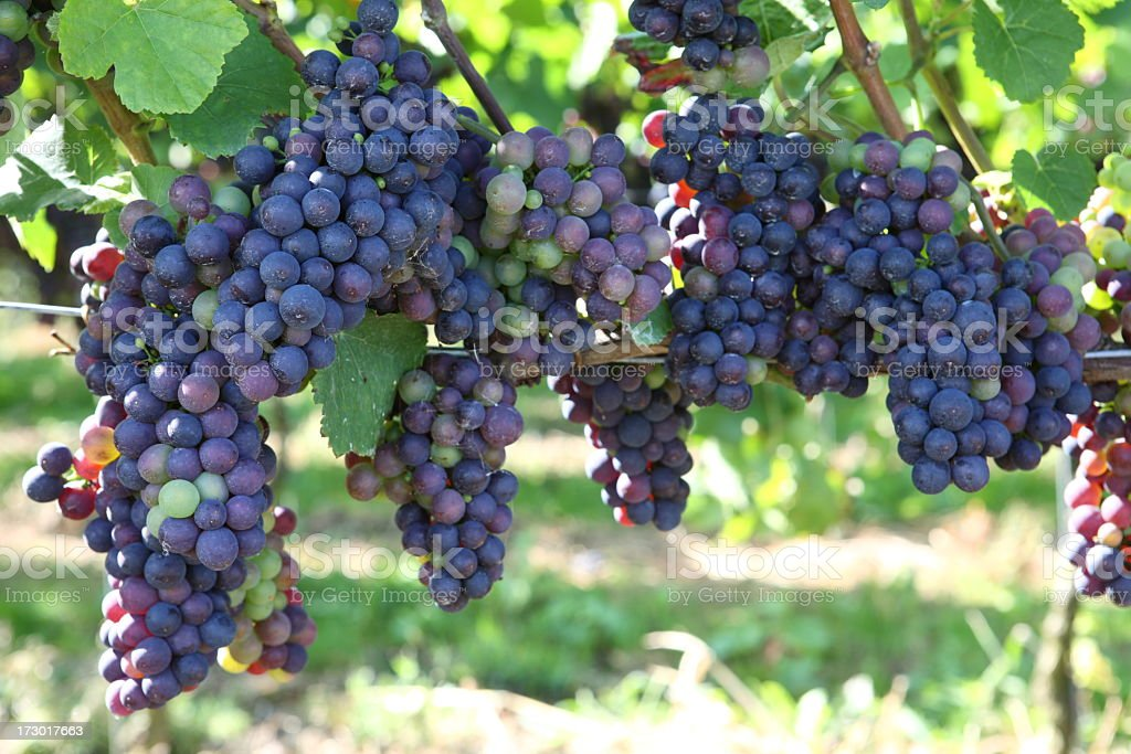 Purple grapes hanging from the vine stock photo