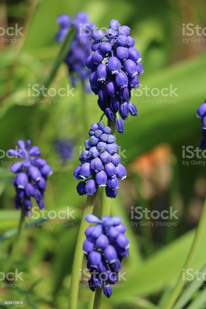 purple grapes hyacinths in spring stock photo