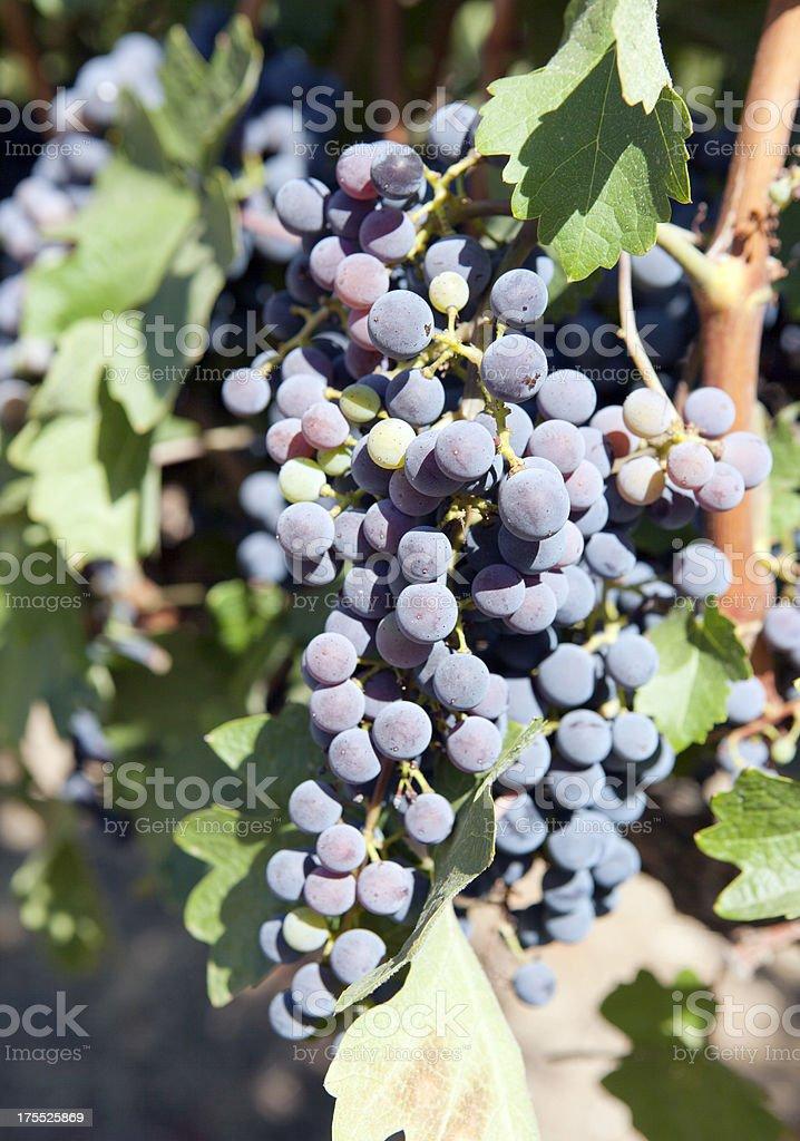 Purple Grapes in Napa Valley Vineyard royalty-free stock photo