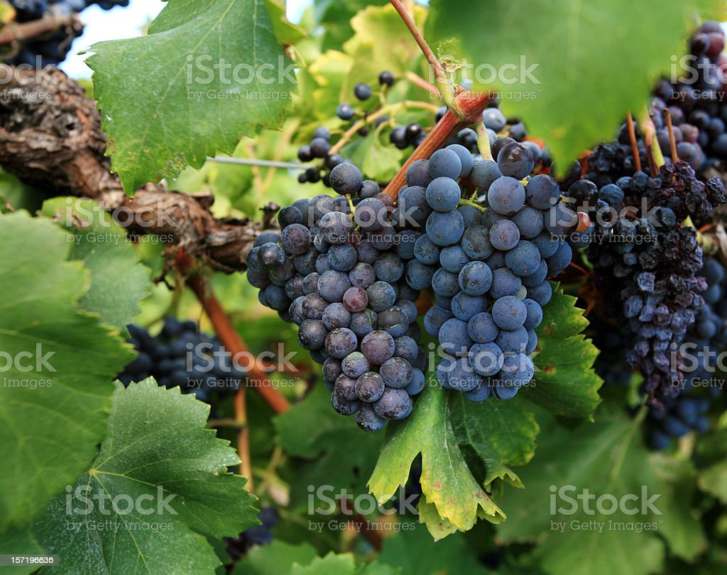 Purple Grapes in Vineyard Provence France stock photo