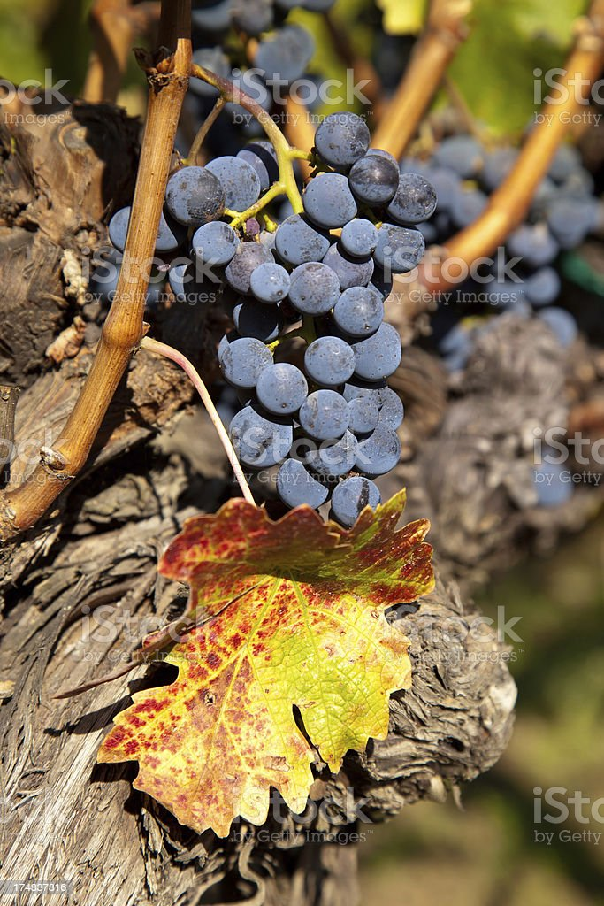 Purple grapes on vine with leaf royalty-free stock photo