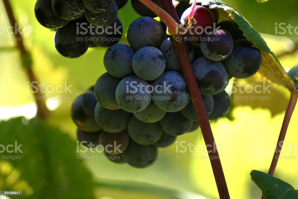 Purple Grapes royalty-free stock photo