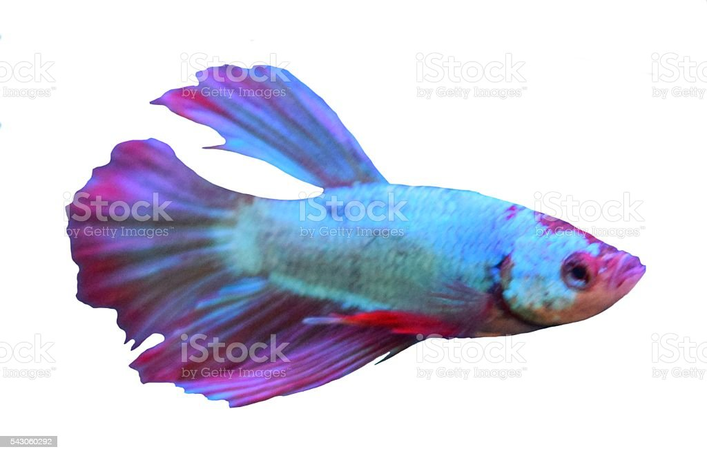 purple guppy tropical fish isolated on a white background stock photo