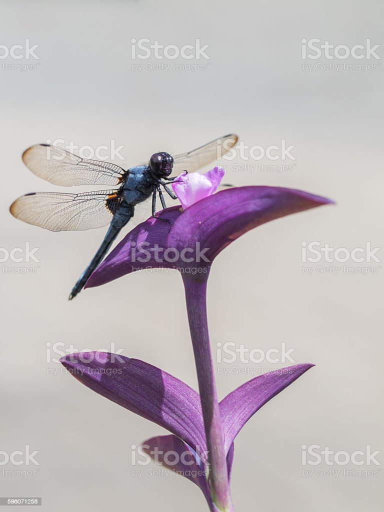 Purple heart and Common skimmer stock photo