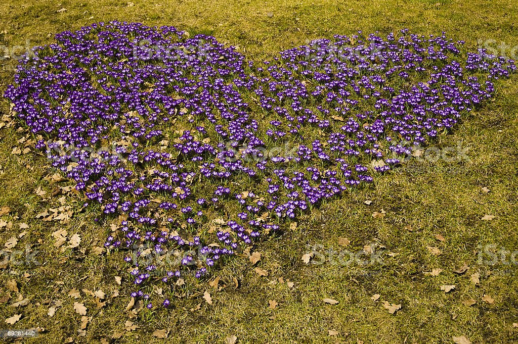 Purple heart made of small plants on green lawn stock photo