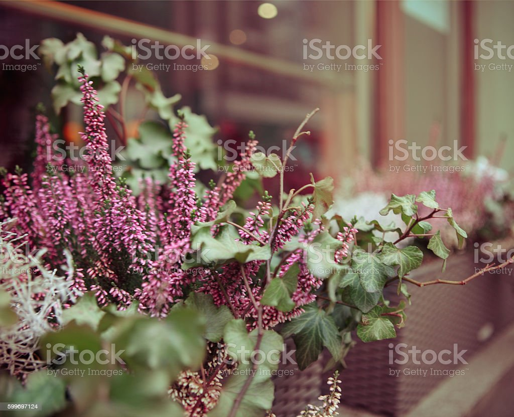 Purple heather and ivy in decorative flower pot stock photo