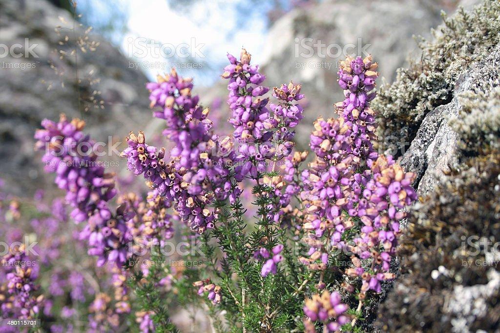 Purple heather in the summer; Broc?liande, France stock photo