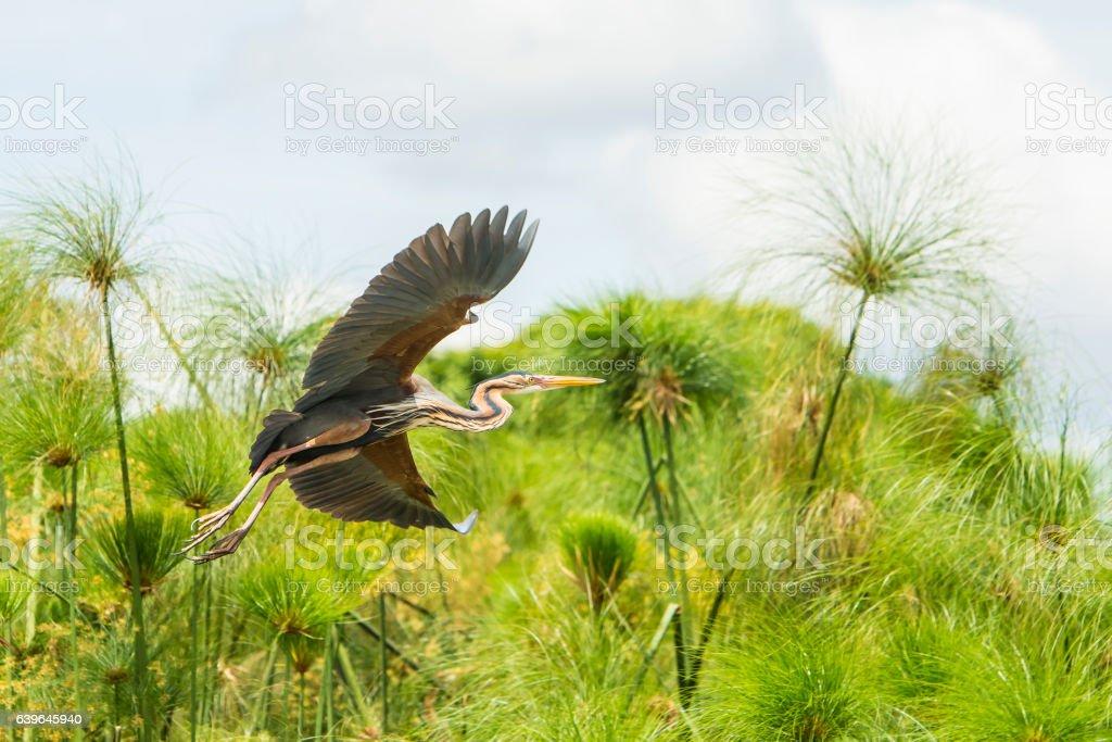 Purple heron in a papyrus swamp, Rwanda, Africa stock photo
