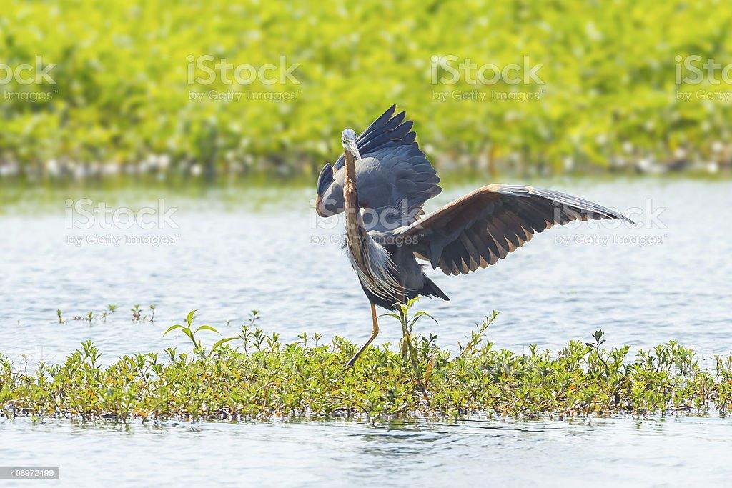 Purple heron stock photo