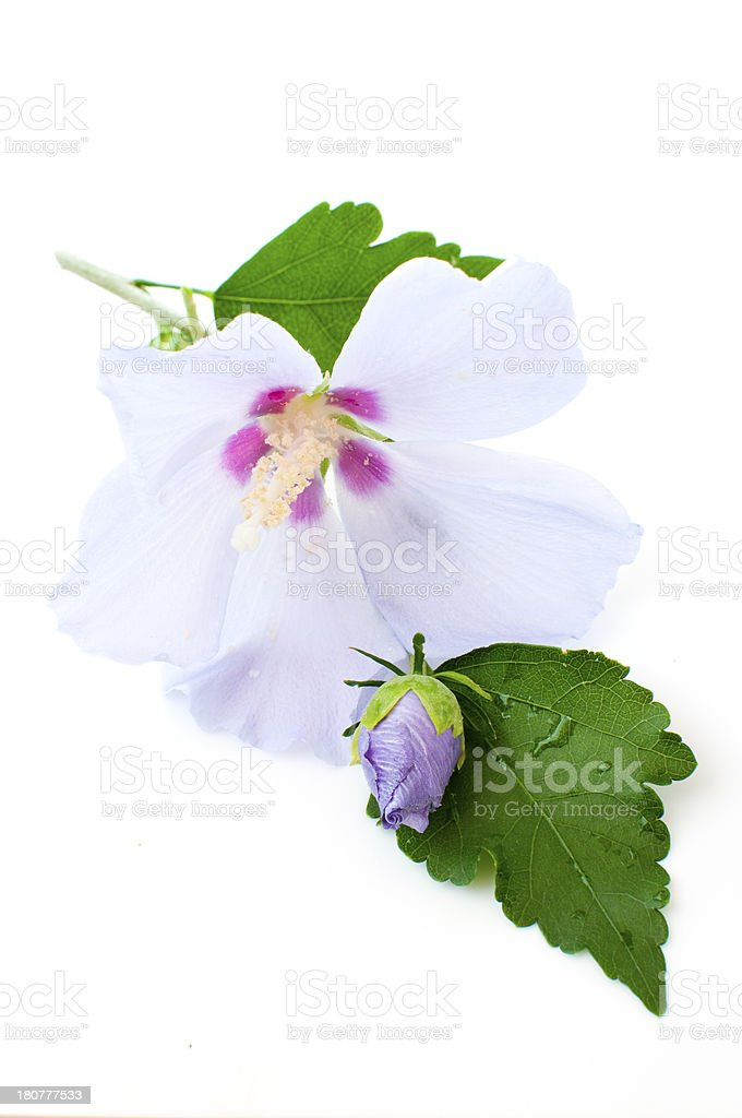 purple hibiscus royalty-free stock photo