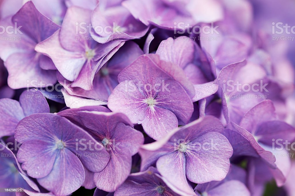 purple hortensia (hydrangea macrophylla) flowers as background royalty-free stock photo