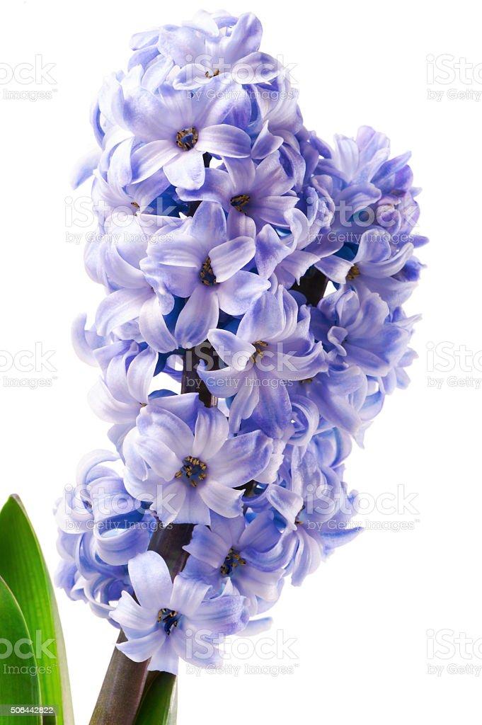 purple hyacinth flower close-up isolated on white stock photo