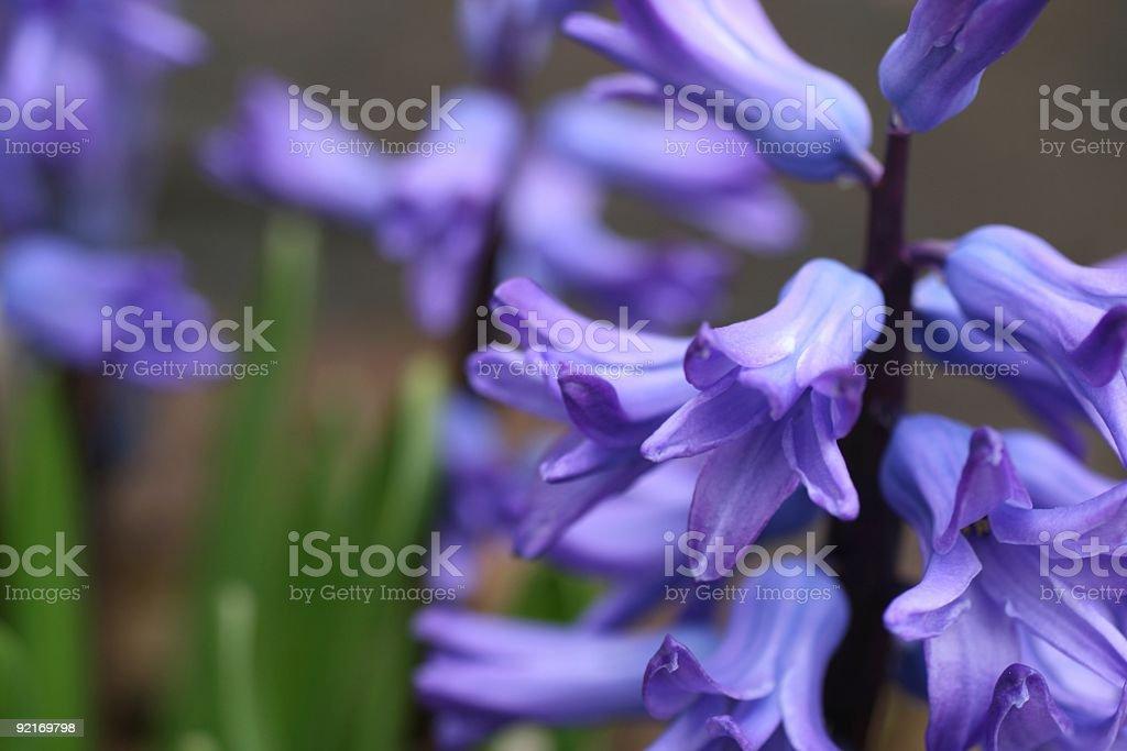 Purple Hyacinth Flower stock photo