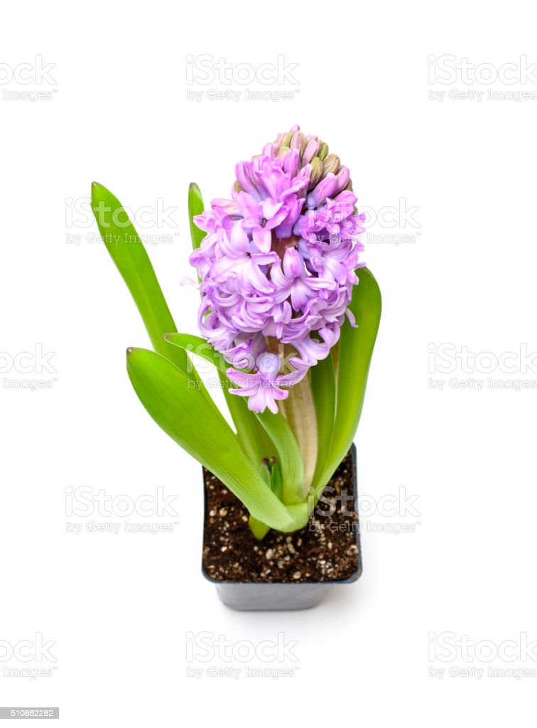 Purple hyacinth in small pot stock photo