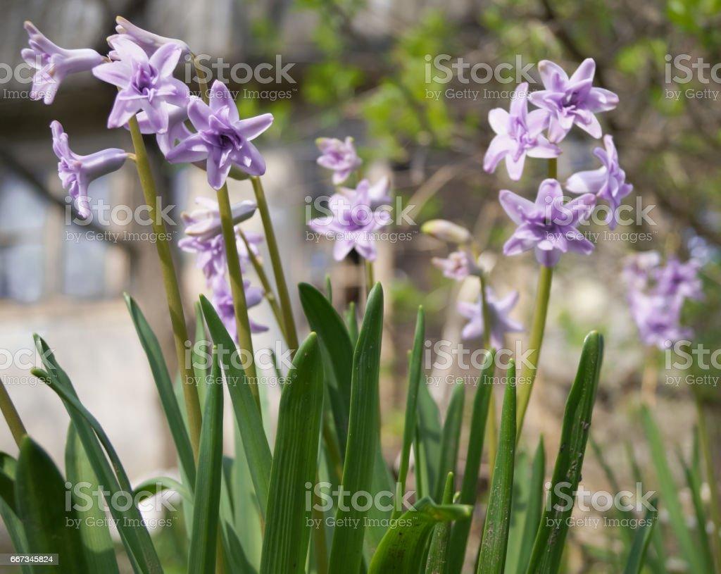 purple hyacinths in the garden stock photo