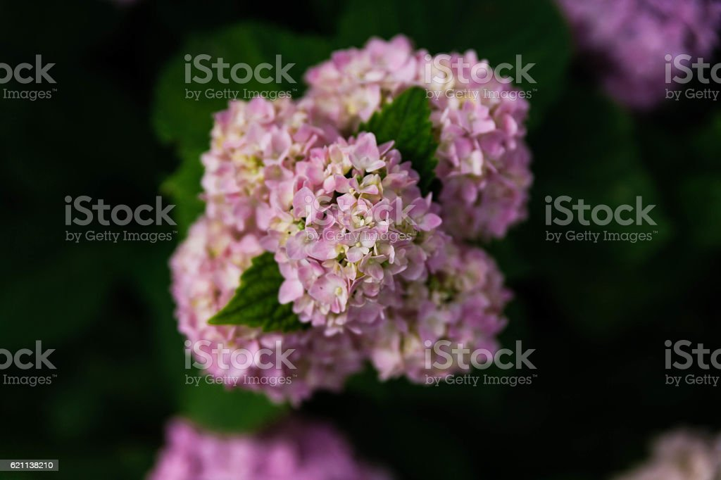 Purple Hydrangea Flowers with Green Leaves Background. stock photo