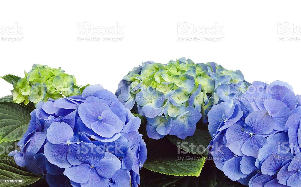 Purple Hydrangea on White royalty-free stock photo