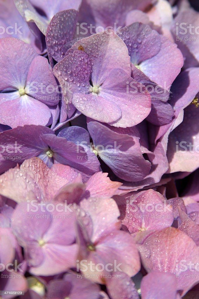 Purple Hydrangea stock photo