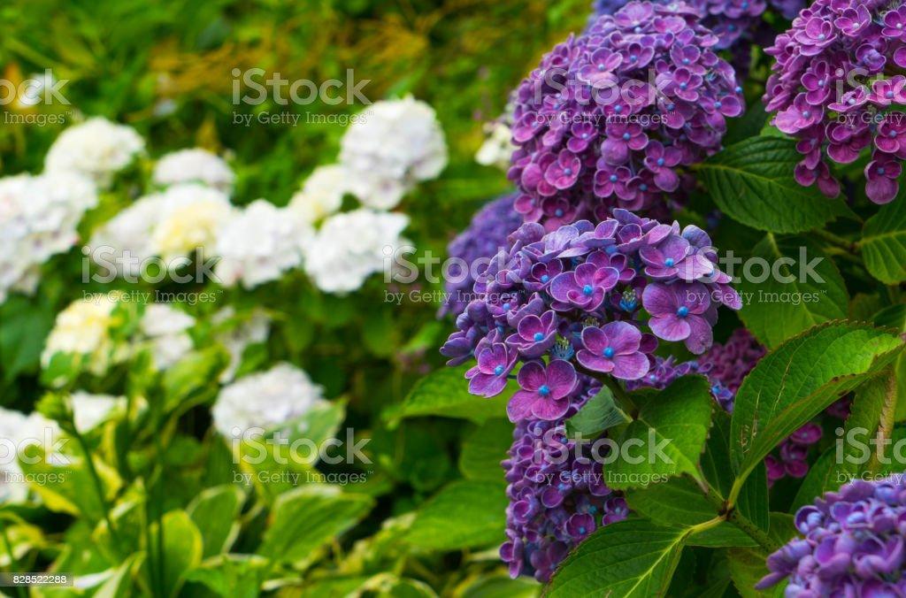 Purple hydrangeas close-up against a background of white hydrangea flowers. stock photo