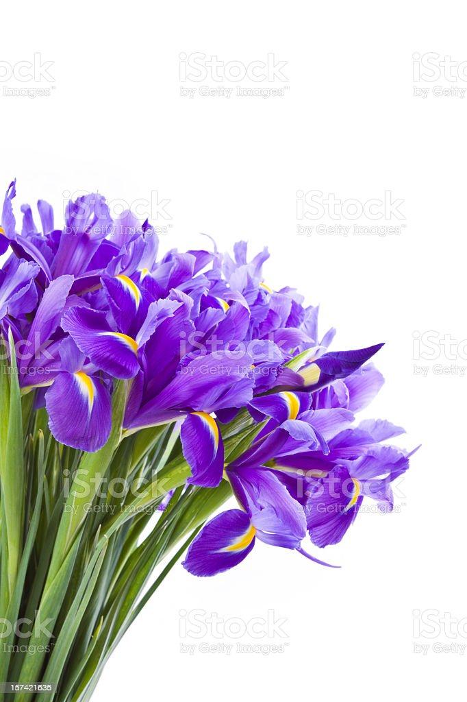 Purple iris flower bouquet on a white background royalty-free stock photo