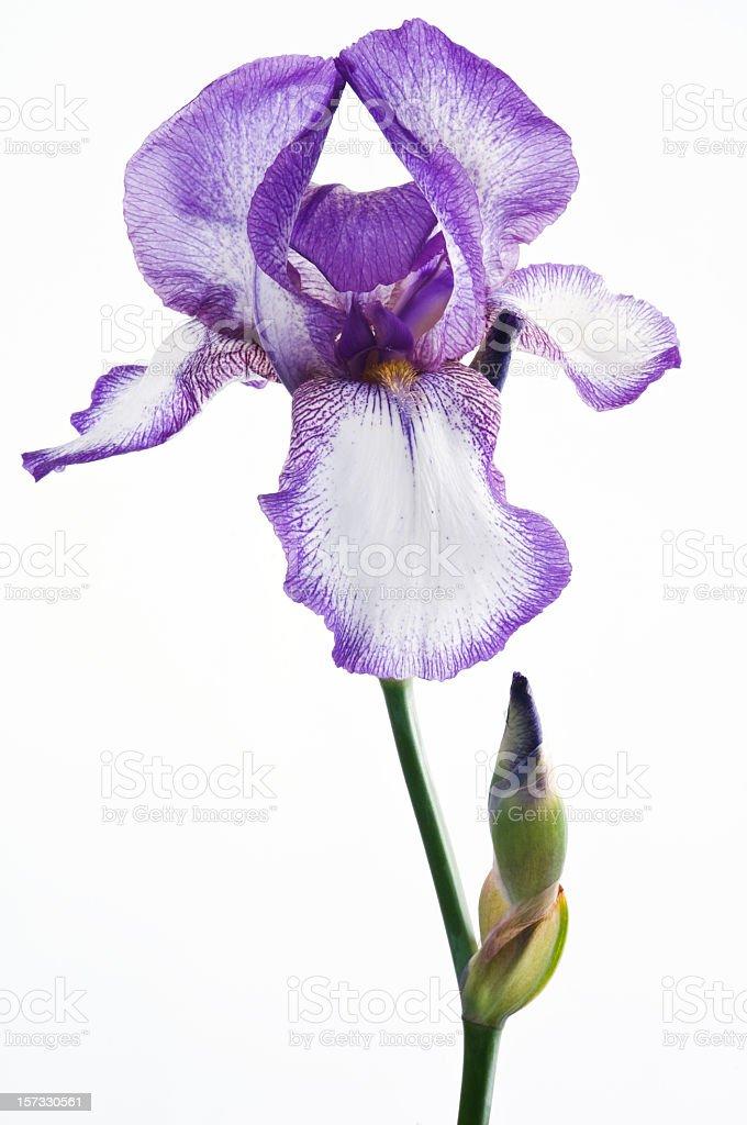 Purple iris flower on white background stock photo