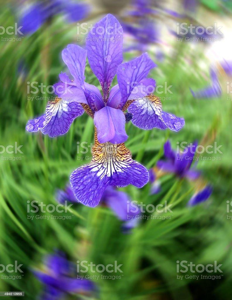 Purple iris flowers (purple flag), dwarf Iris reticulata garden image stock photo