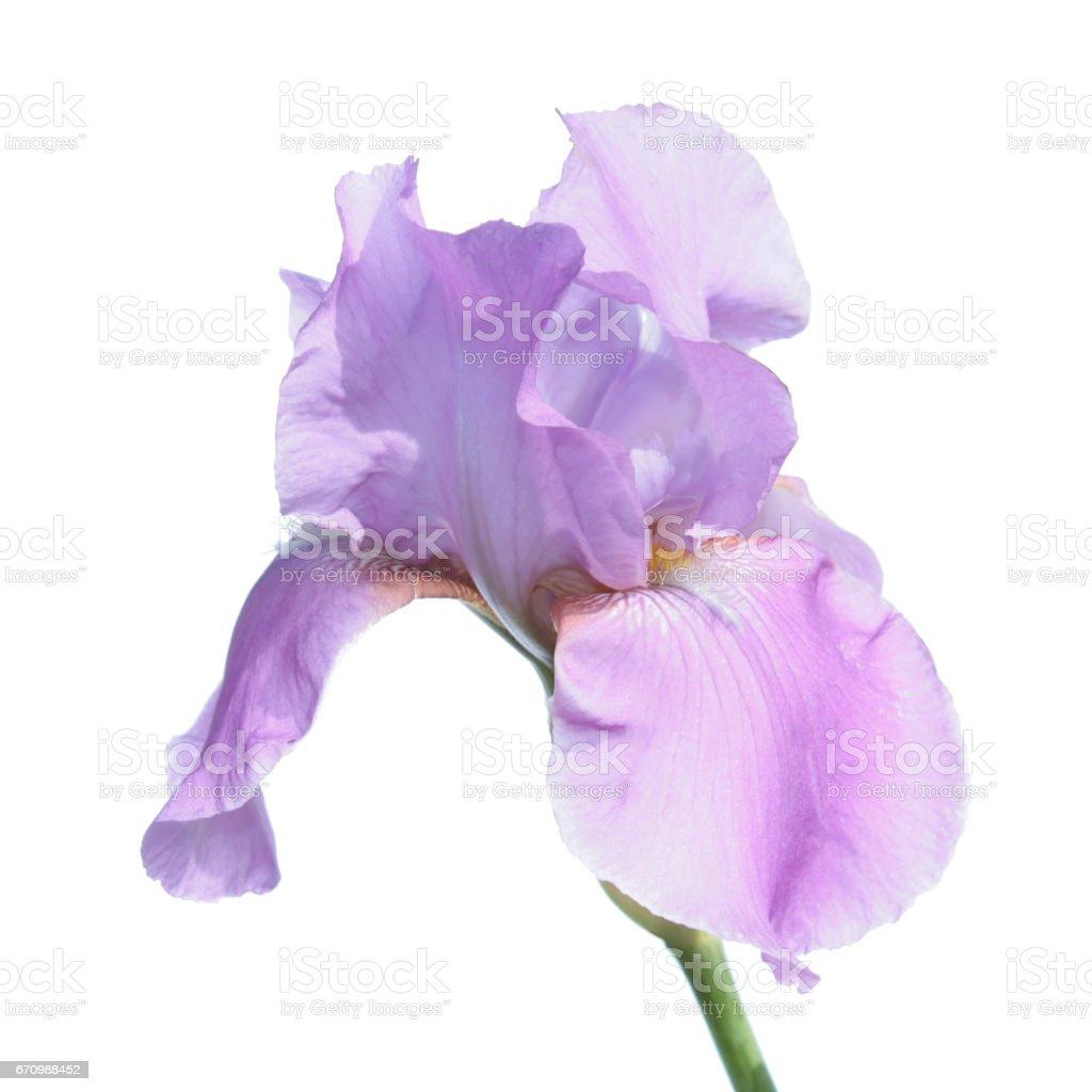 Purple iris isolated on white background stock photo
