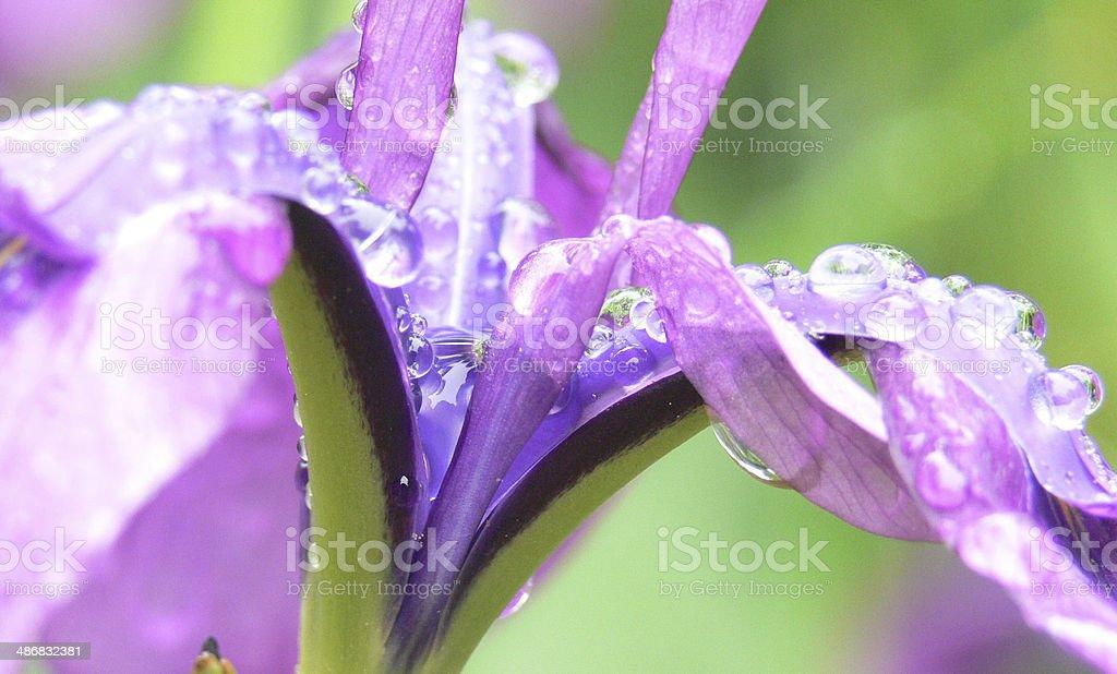 Purpur Iris Lizenzfreies stock-foto